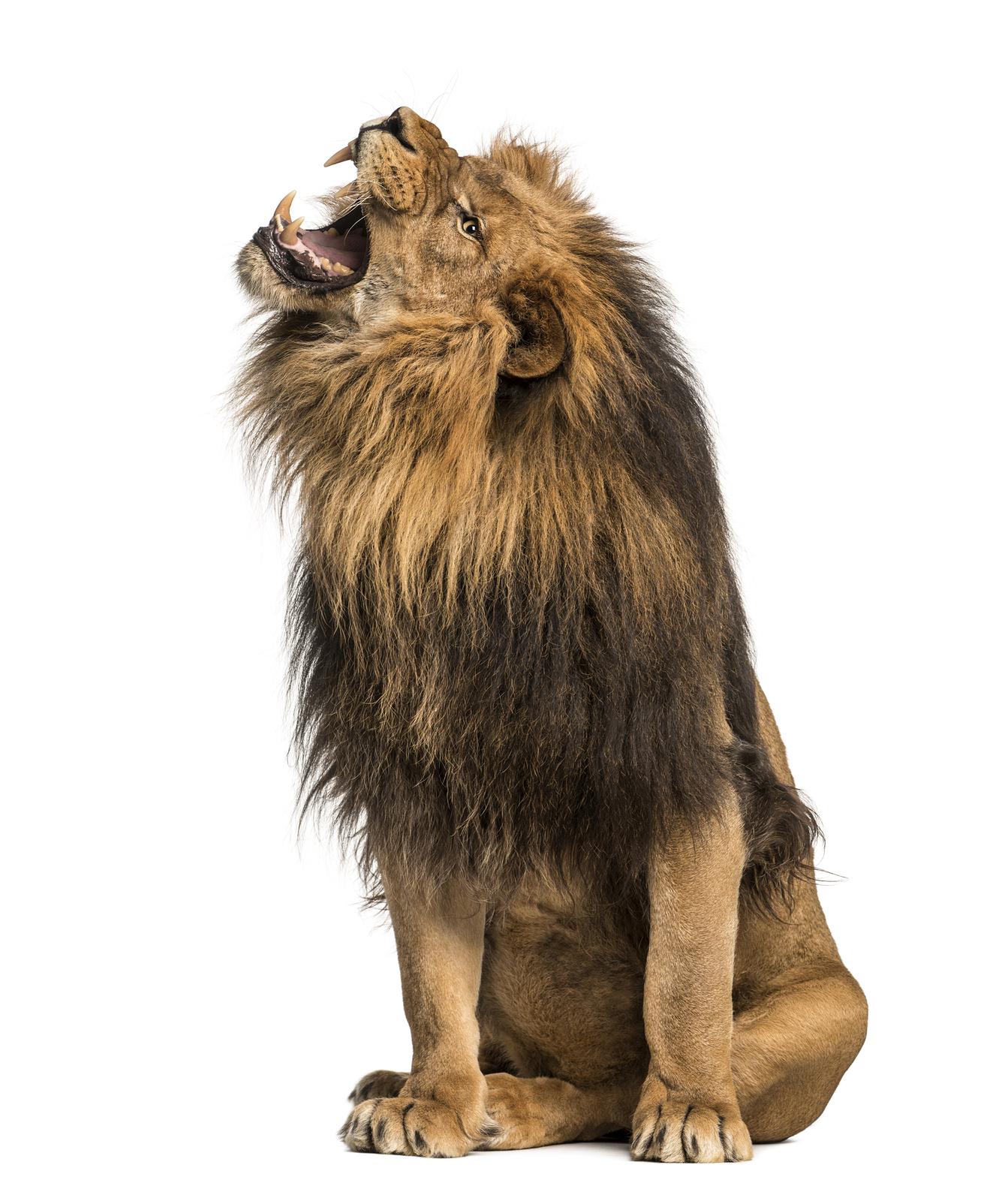 Lion roaring, sitting, Panthera Leo, 10 years old, isolated on white