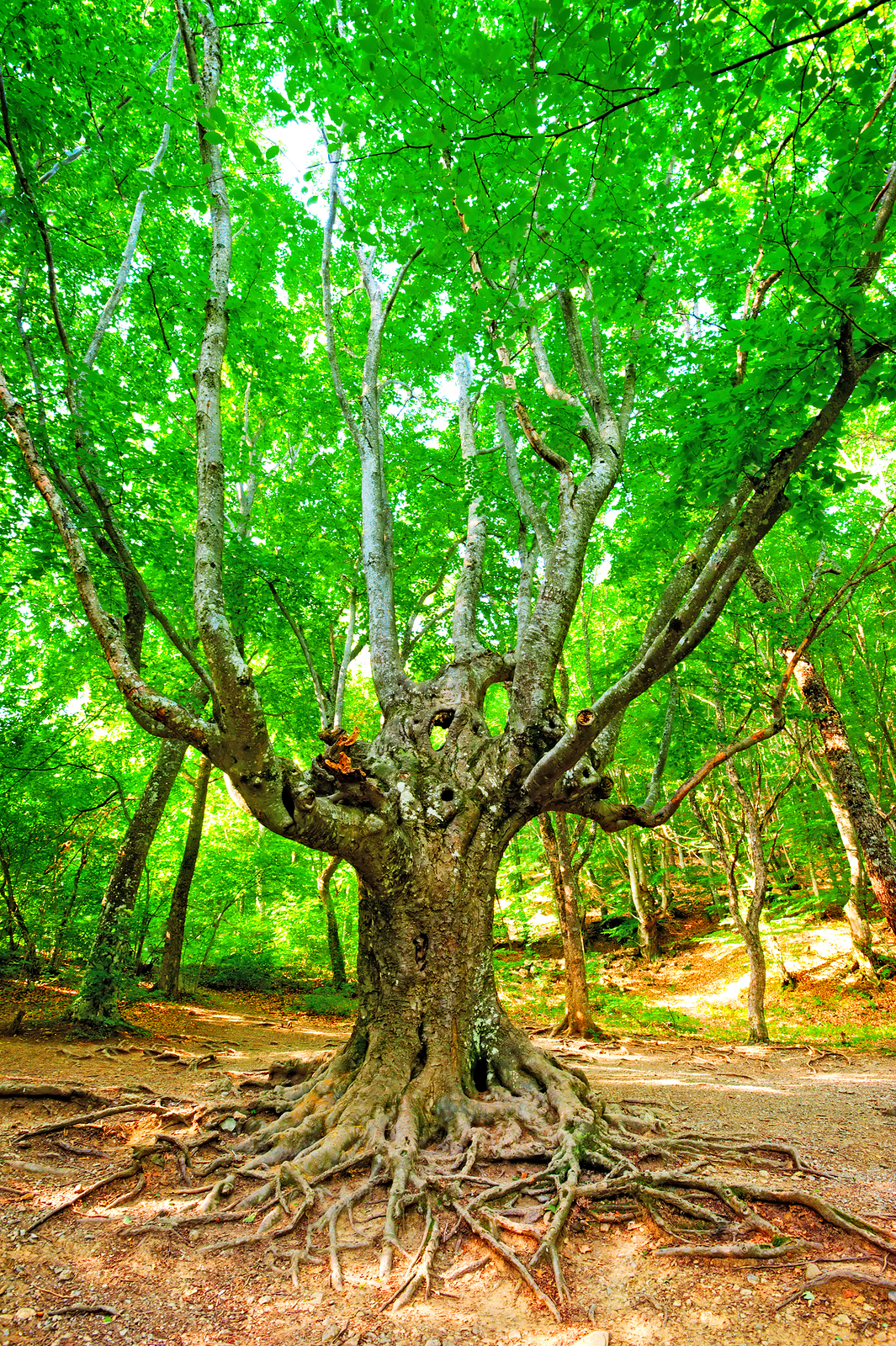 Old branchy evergreen beech forest.